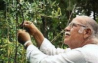 Elderly man picking beans from tree, side view