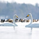 Two Whooper swans (Anas Platyrhnchos) on lake