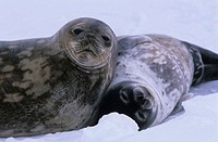 Weddell Seal (Leptoychotes weddellii) and juvenile on sea ice