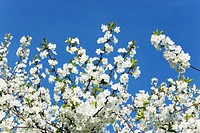Cherry tree in blossom, close-up