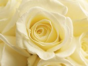 Cream roses (Rosa sp.), close-up (full frame)