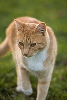 Tabby cat standing on grass, close-up