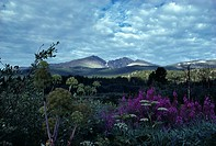 Longs Peak and wildflowers, CO