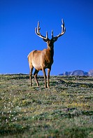 Bull American elk (Cervus elaphus) standing on the tundra, Rocky Mtn Nat´l Park, CO
