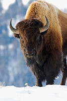 An American Bison, or buffalo, in the winter of Yellowstone National Park, USA
