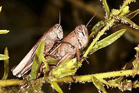 Pair of grasshoppers mating, aphids around