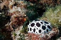 Dotted sea slug (Peltodoris atromaculata). Benidorm. Alicante province, Comunidad Valenciana, Spain.