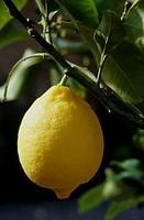Lemon - northern spain