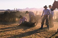 A group of cowboys watching and branding a calf at sunrise in a dusty corral