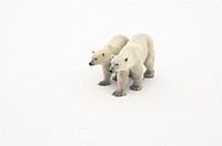 Two young polar bears standing side by side in the snow.   Picture taken in The Cape, Churchill, Manitoba, Canada.