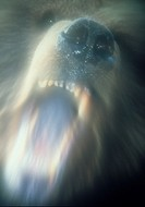 Growling grizzly bear, with blurred effect.