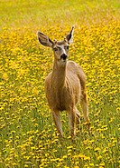 A shot of a deer standing in a field of yellow flowers.