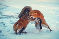 A pair of red foxes fighting each other in the snow, Minnesota, USA, Vulpes vulpes.