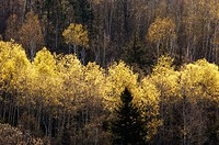 Hillside with emerging foliage in aspens. Lively, Ontario, Canada