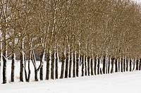 Snow plastered shelter belt line of trees. Drumheller, East Coulee, Alberta, Canada
