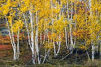 Birch trees in fall colour. Sudbury, Ontario, Canada