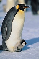 Emperor Penguin Warming its Baby