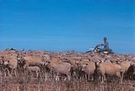 Australia, Victoria, Sheep Grazing