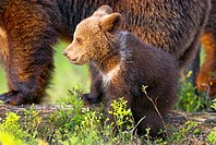 Brown Bear (Ursos arctos), cub with its mother, pine forest, Carelia, Finland