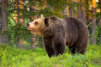 Brown Bear (Ursos arctos), pine forest, Carelia, Finland