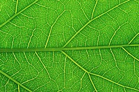 Veins in Leaf