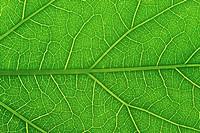 Veins in Leaf