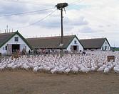 Hungary, Hortobagy Puszta, farm,  gaggle of geese  Europe, Central Europe, Magyar Köztársaság, Hungarian lowland Hortobagypuszta goose farm poultry fa...