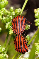 Shield bugs (Graphosoma lineatum) mating