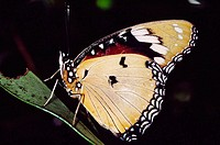 Tropical butterfly, rainforest. Réserve spéciale de Perinet-Analamazaotra, near Andasibe. Madagascar