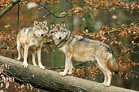 Forest, log, gray wolves, Canis,  lupus, attention  Nature, wildlife, animals, mammals, wild animals, carnivores, wild dogs, wolves, Canidae, whole bo...
