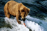 Grizzly bear catching salmon (Ursus arctos horribilis). Katmai National Park. Alaska. USA