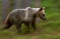 Young brown bear (Ursus arctos) running through the scandinavian taiga, Finland