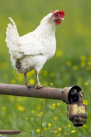 Ferric pole, hen,   Animal, bird, hen bird, poultry, usefulness animal, house hen, feathers, white, whole bodies, outside