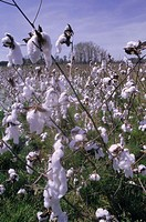 Cotton field, detail,   Economy, agriculture, field, plantation, cotton plantation, cultivation, cotton cultivation, plants, cotton plants, Gossypium ...