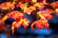 Red maple leaves Acer rubrum in autumn colour