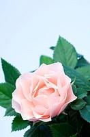 Rose Rosa sp