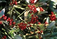 Japanese skimmia Skimmia japonica ´Red Princess´ foliage and berries