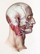 Neck and facial nerves  Historical anatomical artwork of the nerves of the human neck and face  This view is from the side and the skin and fat layers...