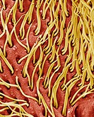 Protozoan cilia  Coloured scanning electron micrograph SEM of cilia microscopic hairs from a ciliate protozoan  Ciliate protozoans are single-celled a...