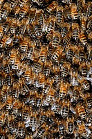 Honey bee swarm  Close-up of a swarm of honey bees Apis mellifera  Honey bees originated in southern Asia, but they have now been introduced throughou...
