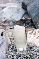 Gentoo penguin Pygoscelis papua looking after its egg  The breeding season of the gentoo penguin is from spring to autumn with females laying a clutch...