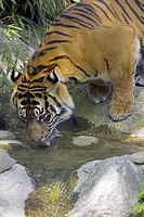 Zoo, Sumatra tigers, Panthera Tigris  sumatrae, brook, drinks, detail,   Series, zoo, enclosures, wildlife, animal, wild animal, mammal, carnivore, bi...