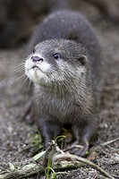 Zoo, dwarf otters, Aonyx cinerea,  Vigilance,   Series, animal enclosures, , animal, wild animal, mammal, carnivore, country carnivore, otters, finger...
