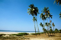Coconut palms at Cansaulim beach. Goa, India