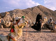 Egypt, Sahara, Bedouins, camels,   no models release,  Gravel desert, Egyptians, natives, caravan, rest, pause, animals, tradition, traditions, symbol...