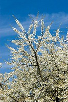 Cherry tree, Prunus avium, detail, Branches, blooms, spring,   Plant, tree, fruit tree, rose plant, cherry, stone fruit plant, fruit bloom, cherry blo...