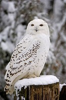 Snow owl, Nyctea scandiaca,  Wood posts, winters,   Nature, wildlife, animal, wild animal, bird, plumages, white, attention, observation, whole bodies...