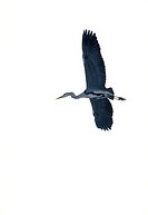 Gray herons, Ardea cinerea, flight,  from below,   Wildlife, animal, bird, wader, Schreitvogel, herons, herons, flie, perspectives, whole bodies, Grey...