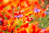 Poppies, cornflowers,