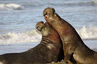 Northern Elephant Seals (Mirounga angustirostris). California, USA